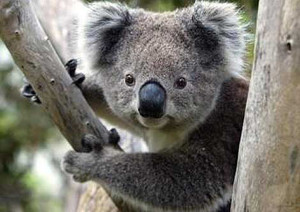 Melbourne Wine Tours - Wildlife Koala